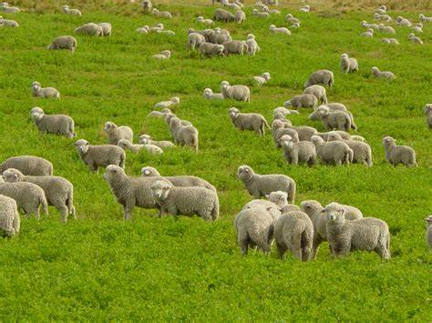 scattered sheep